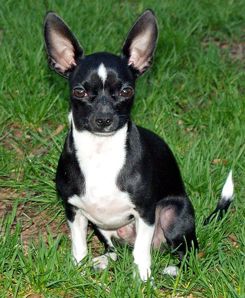 File:Little Man Chihuahua by David Shankbone.jpg