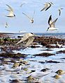 Little Tern from the Crossley ID Guide Britain and Ireland.jpg