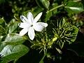 Littleflower5.jpg