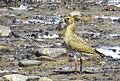 Ljungpipare European Golden Plover (14959732296).jpg