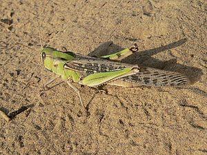 Migratory locust - L. m. migratorioides female (solitary)