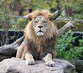 Loewe Panthera leo Tierpark Hellabrunn-7.jpg