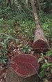 Logging in Pernambuco, Brazil.jpg