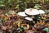 Lohrer Wald Pilze und Laub.jpg