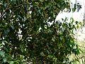 Lokhandi (Marathi- लोखंडी) (3111980643).jpg