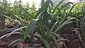 Long lily 03.jpg