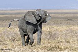 Un éléphant de savane, mâle, en Tanzanie