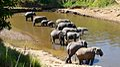 Loxodonta africana -Africa -drinking-8.jpg