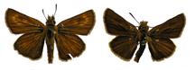 The Lulworth Skipper, Thymelicus acteon (Insecta: Lepidoptera: Hesperiidae)