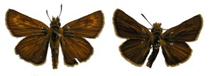 Two butterflies side-by-side. The left (female) is dark brown, with lighter circles on the top wings. The right (male) is darker, and the circles are less visible
