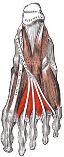 Lumbricals of the foot