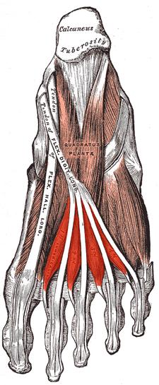 musculi lumbricales