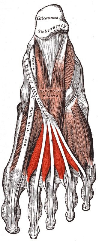 Lumbricals of the foot - Muscles of the sole of the right foot, viewed from below.  Second layer. (Lumbricals visible at bottom.)