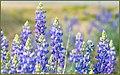 Lupine In Southern California (204510655).jpeg