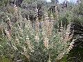 Lupinus sericeus (4395574325).jpg