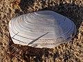 Lutraria lutraria 120719412.jpg