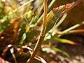 Luzula parviflora (28918444030).jpg