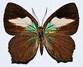 Lycaenid Butterfly (Hypochrysops polycletus) female (8420220142).jpg
