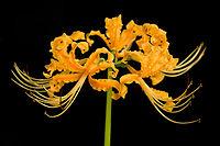 Lycoris aurea.jpg