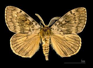Mníška veľkohlavá (lat. Lymantria dispar) - samček