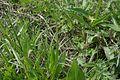 MD.ST.Lozova - Eriophorum vaginatum in the cottonseed field in Codru scientific reserve - may 2017 - 26.jpg