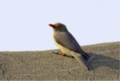 MPGR-Oxpecker1.png