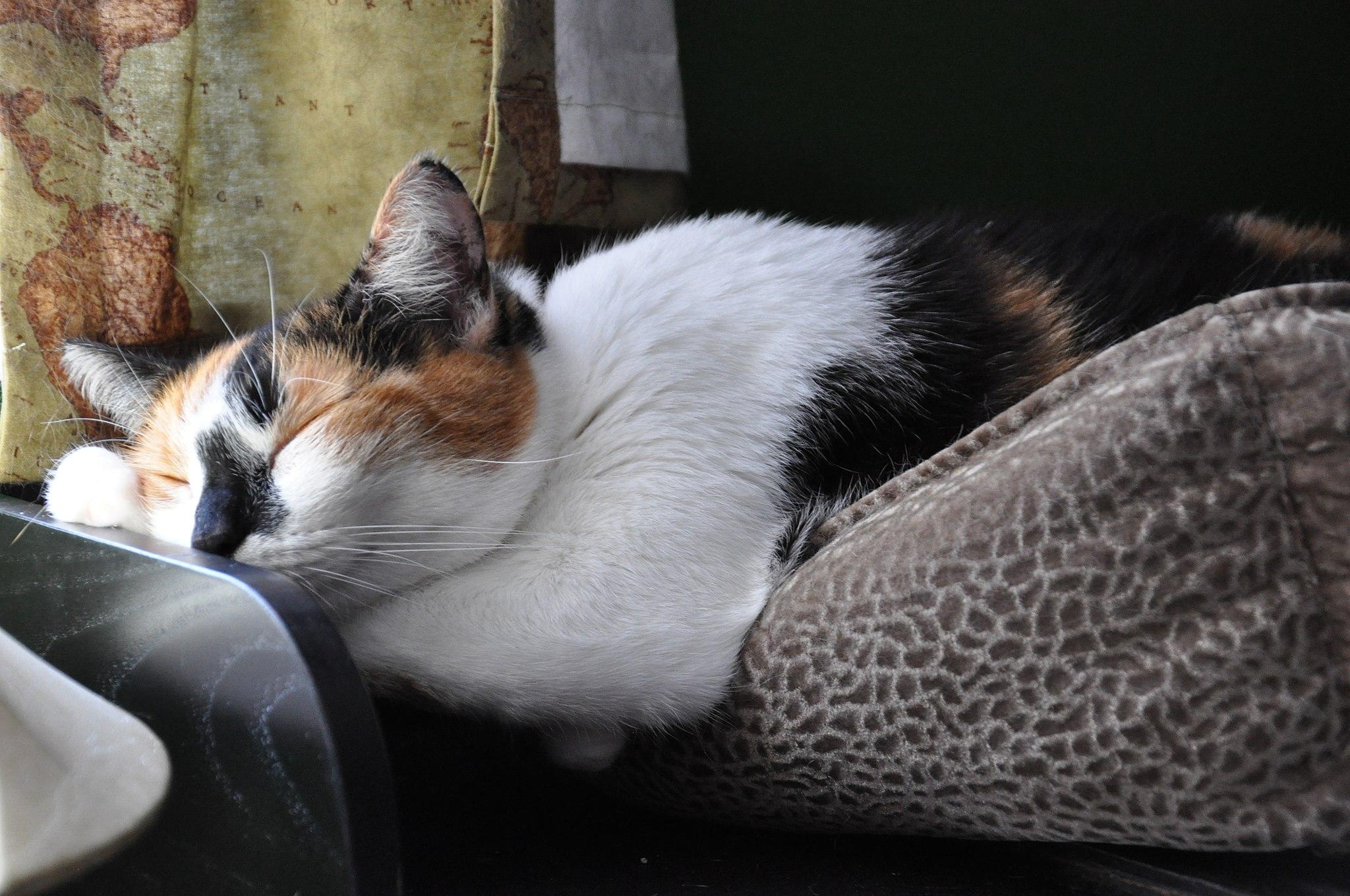 El gato americano de pelo corto cuenta generalmente con un excelente estado de salud