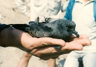 Northern storm petrel - The Markham's storm petrel is unusual for nesting on the mainland of South America.