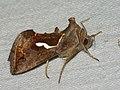 Macdunnoughia confusa - Dewick's Plusia - Металловидка-капля (27235281378).jpg