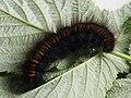 Macrothylacia rubi (larva) - Fox moth (caterpillar) - Коконопряд малинный (гусеница) (43774899004).jpg