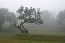 Large trees with grass between them in mist