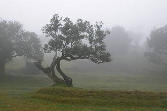 Laurel pigeon - Macaronesian Laurel forest