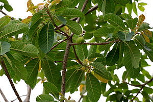 Sapotaceae - Madhuca longifolia var. latifolia in Narsapur, Medak district, India.