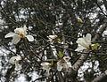 Magnolia kobus in Mount Kaizuki.jpg