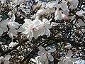 Magnolia stellata 2010.JPG
