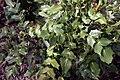 Mahonia bealei 2zz.jpg