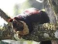 Malabar Giant Squirrel DSCN0180.jpg