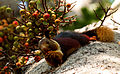 Malabar giant squirrel by N. A. Naseer.jpg