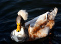 Male duck with plumage.jpg
