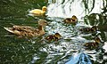 Mallard female with ducklings.JPG