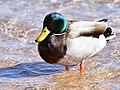 Mallard on Seedskadee National Wildlife Refuge (40397723962).jpg