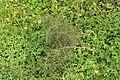Malta - Mellieha - Triq l-Armier - Asparagus aphyllus 02 ies.jpg