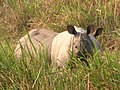 Mammal Rhino Kaziranga IMG 4676 02.jpg