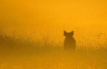 Mammals Wildschwein im Morgennebel.jpg