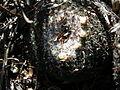 Mammillaria klissingiana (5765570591).jpg