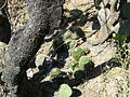Mammillaria polyedra (5758832967).jpg