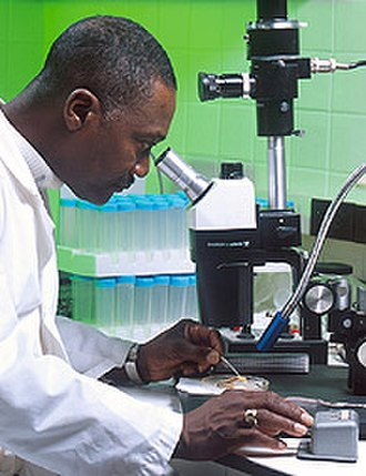 Medical microbiology -  A microbiologist examining cultures under a dissecting microsope.
