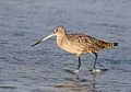 Marbled godwit, Limosa fedoa, Moss Landing (Elkhorn Slough and beach), California, USA. (25305602839).jpg