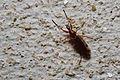 March fly (Genus Bibio) (15641971087).jpg
