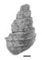 Margarya yini shell 2.png